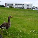 Islandští ptáci