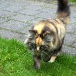 Islandská kočka