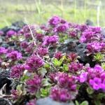 Islandská flóra