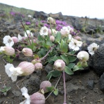 Islandská flóra 2