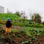 Himalájské pěstování zelí