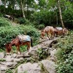 Karavana oslů