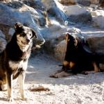 Psi z Pangboče